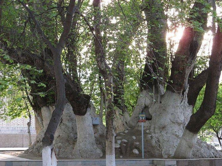 Maestoso albero di Platano