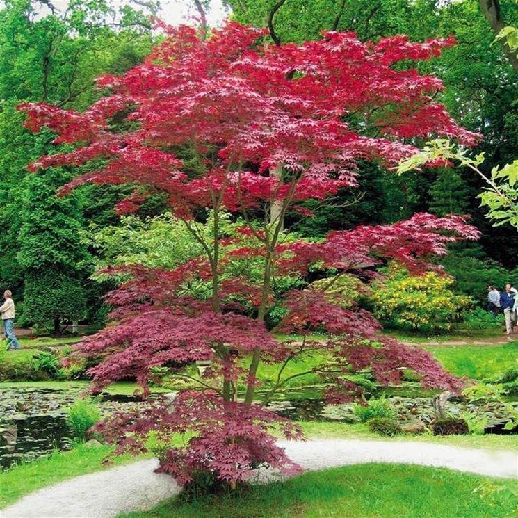 Piante giapponesi alberi latifolie curare piante - Nomi di piante da giardino ...