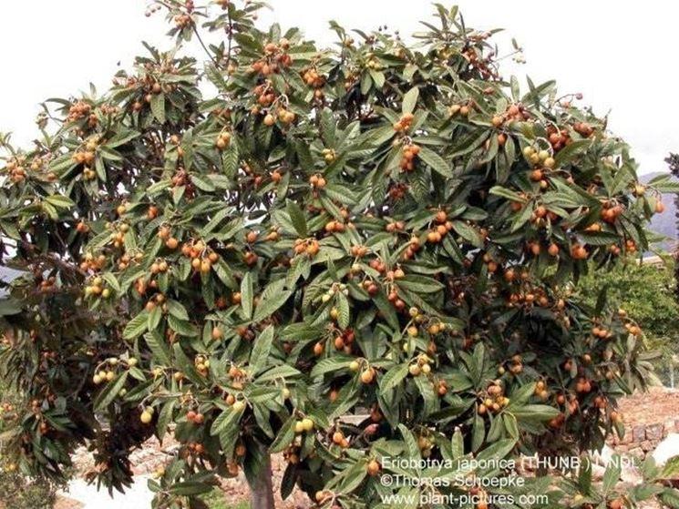 Piante giapponesi alberi latifolie curare piante for Ocra pianta
