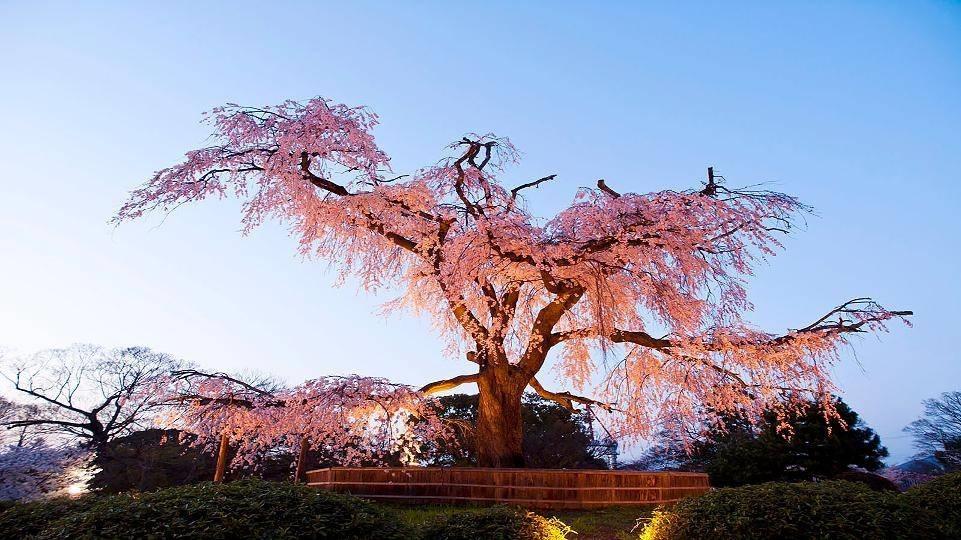 Piante giapponesi alberi latifolie curare piante - Piante per giardino giapponese ...