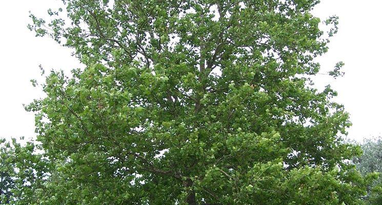 albero del platano occidentale