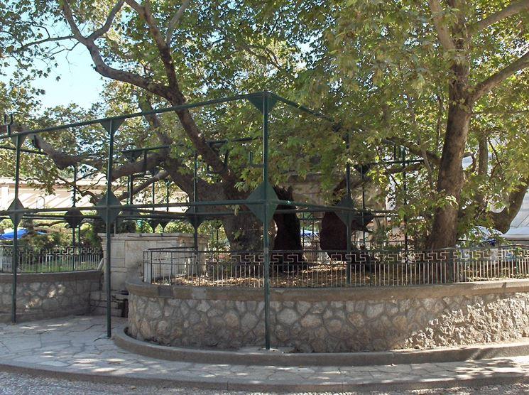albero del platano di Ippocrate