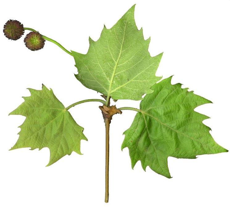 albero del platano: foglie e frutti