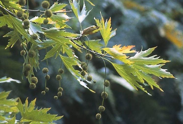 foglie del platano orientale