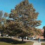 platano albero