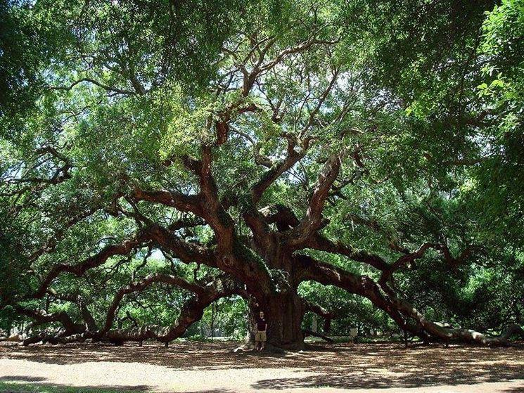 Quercia albero alberi latifolie caratteristiche della - Sughero pianta da giardino ...
