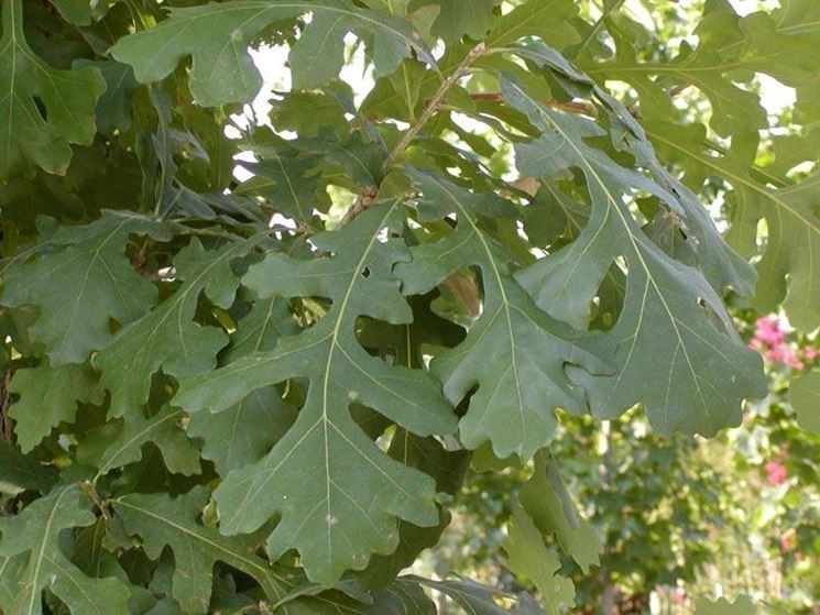 Foglie di una varietà di quercia