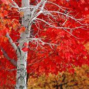la quercia albero