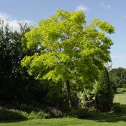 Albero di Robinia pseudoacacia