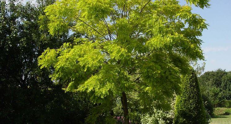 Robinia pseudoacacia alberi latifolie robinia for Acacia albero