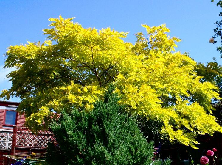 Robinia albero latifoglie