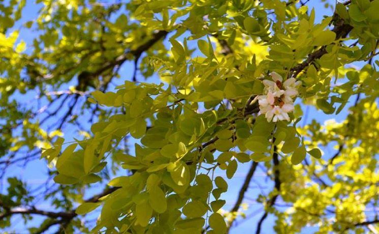 Acacia pianta latifoglie