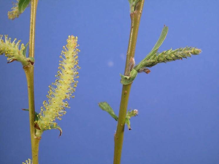 Un dettaglio delle infiorescenze della pianta di salice piangente