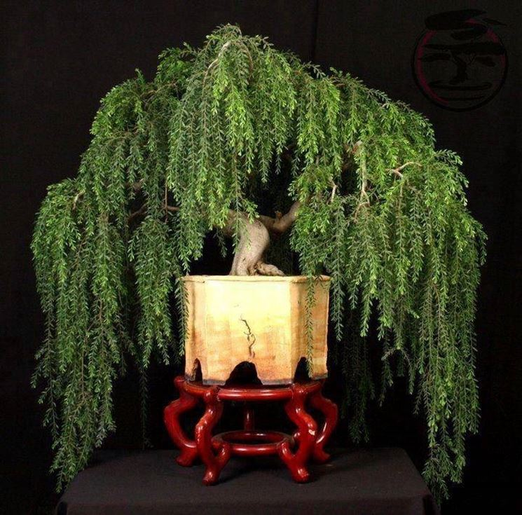 Salice piangente bonsai.