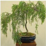 bonsai salice piangente