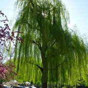 Salici piangenti alberi latifolie caratteristiche for Alberi alto fusto nomi