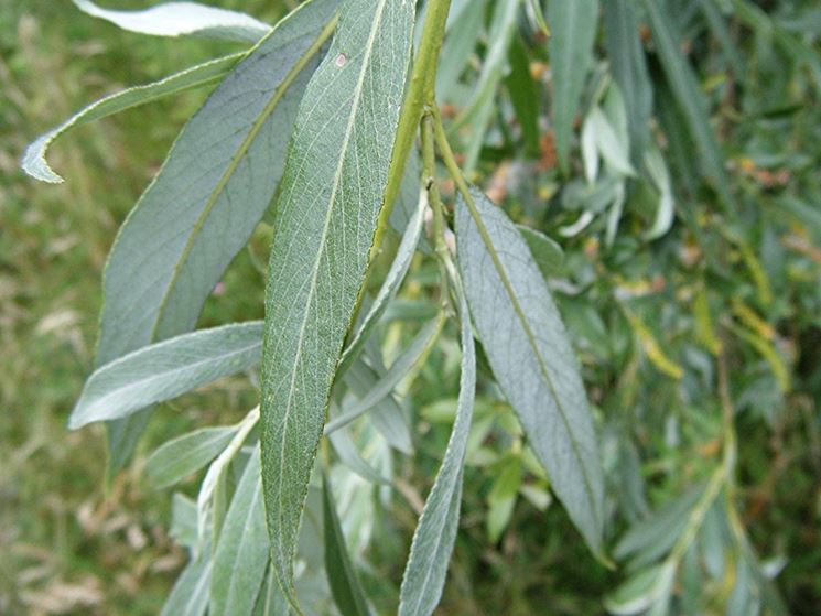 Particolare foglie