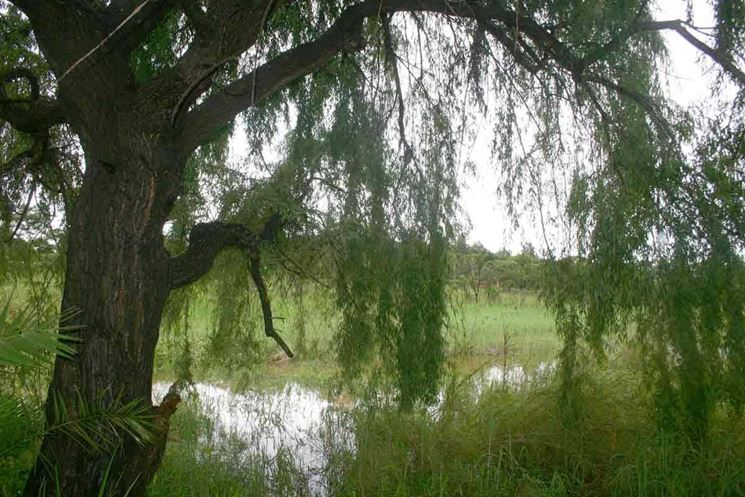 Salice piangente nello Zimbabwe