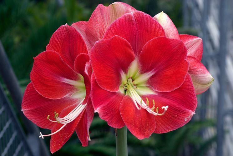 Fiore di Amaryllis Monaco