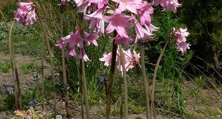 pianta di Amaryllis belladonna