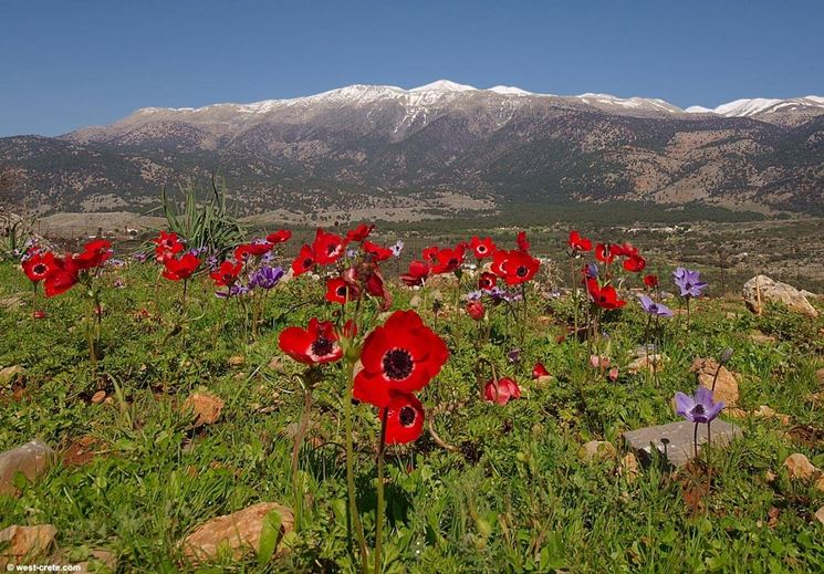 Anemone coronaria che cresce spontanea in montagna