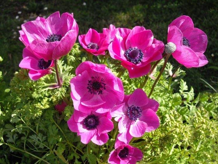 Anemoni coronarie di colore rosa-violetto
