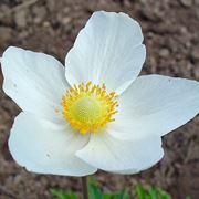 Un esempio di anemone di colore bianco