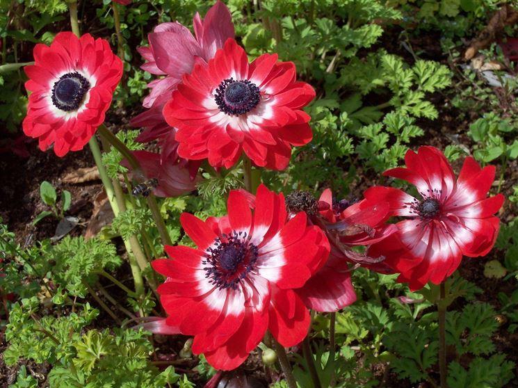 Esemplari di anemone coronaria