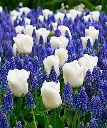 bulbi tulipani bianchi