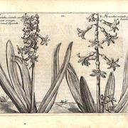 Illustrazione botanica di due diverse varietà di Hyacinthus orientalis