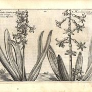 Illustrazione botanica di due diverse variet� di Hyacinthus orientalis