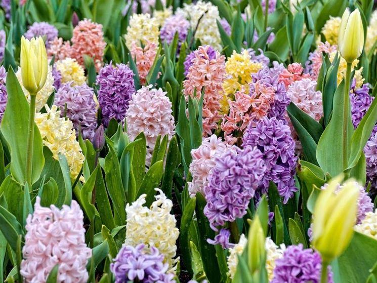 Bulbi e fiori bulbi bulbi e fiori giardino for Pianta ornamentale con fiori a grappolo profumatissimi