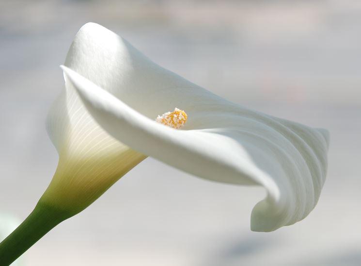 Fiore di Calla