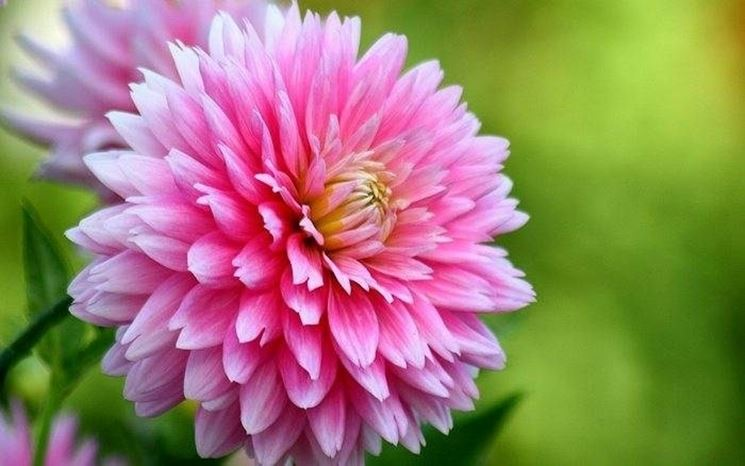 Fiore di Dalia