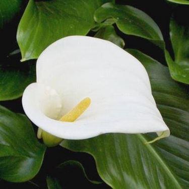 calla bianca