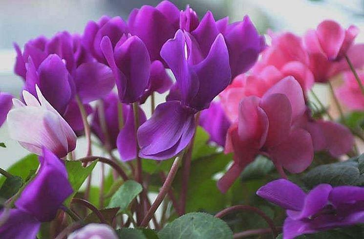 Ciclamini in piena fioritura