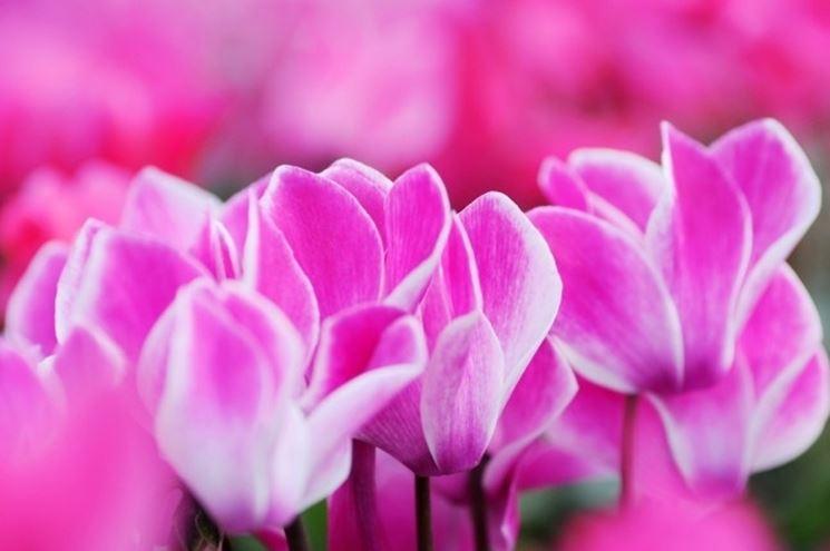 fiore ciclamino rosa