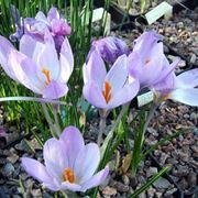 fiori di croco