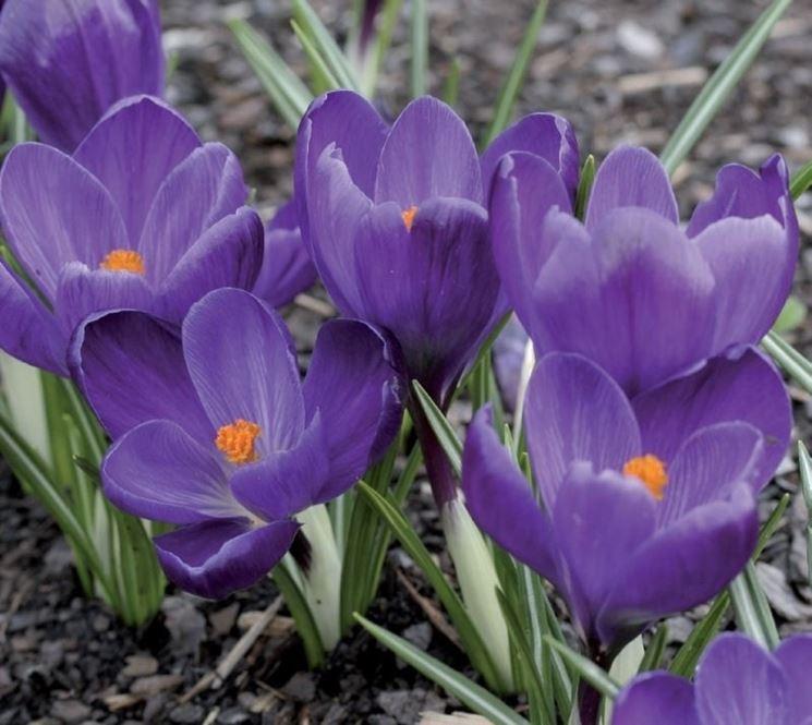 Fiori di Crocus vernus Flower Record