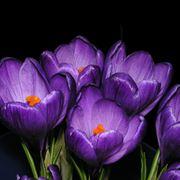 Fiori di crocus viola