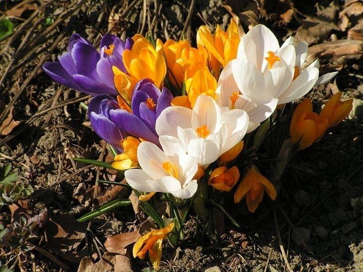 Crochi fioriti di colori diversi