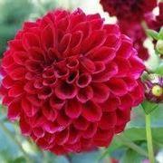 bellissimo fiore di dalia