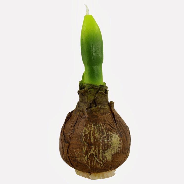 Un bulbo di tulipano