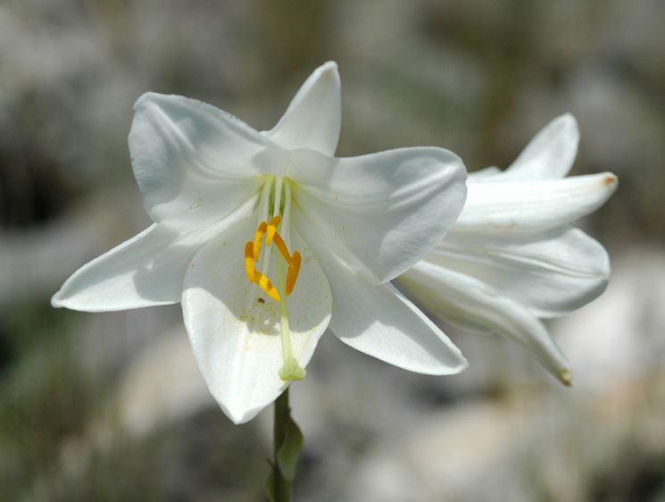 Fiori a bulbo bulbi caratteristiche dei fiori a bulbo for Giardinaggio e fiori