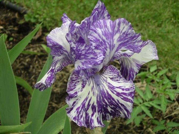 Fiore di Iris Shakin