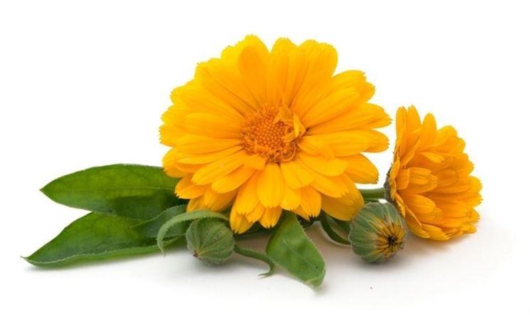 Fiori gialli di calendula