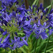 fiori estivi perenni