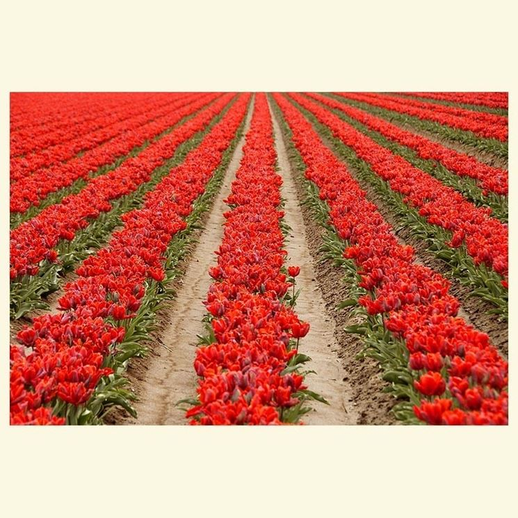 Tulipani rossi in Zuid Holland
