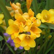 fresia fiore