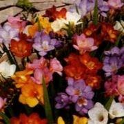fresia fiore significato